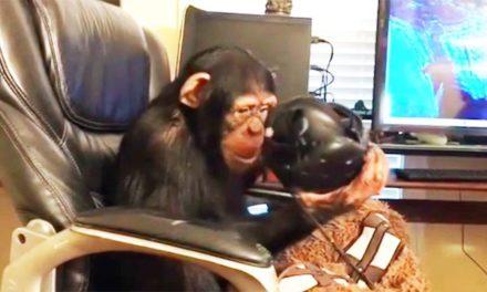 Czy zwierzęta są w stanie doświadczyć Virtual Reality? Szympansy jak najbardziej!